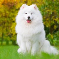 Know your Breed - Samoyeds