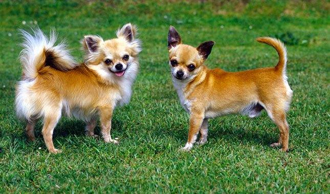 kéo dài tuổi thọ của chó Chihuahua