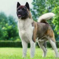 Dog Breed - Akita