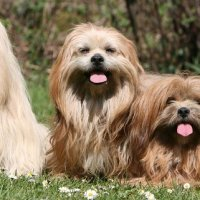 Dog Breed – Lhasa Apsos